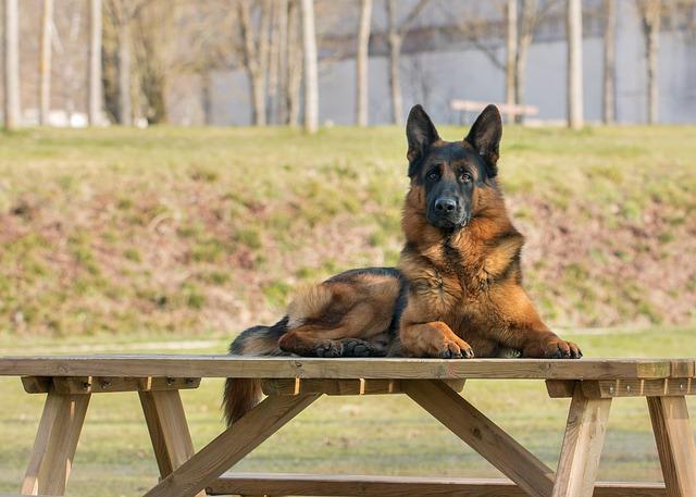 un berger allemand sur une table