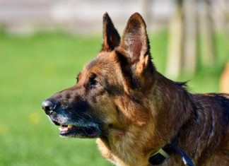 un chien berger allemand