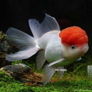Poisson D Eau Froide Pour Aquarium La Liste Complete