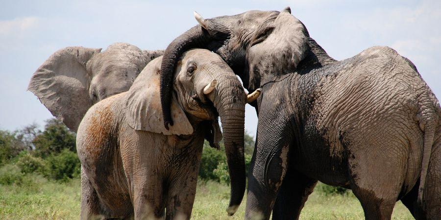 Des éléphants de la savane africaine s'enlacent